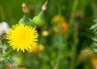 Jarné zlato - púpava. Viete aký úžasný prínos má pre vaše zdravie?