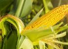 kukurica, chudnutie, ano nie, dieta, zdravie, fit, zdrave jedlo, leto, mnam,
