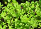 majoránka, liečivé účinky, náhrada, oregano, bylinky, čaj, kašel, priedušky, hlieny, prvá pomoc, domáca liečba, vývar, ako uvariť majoránkový čaj