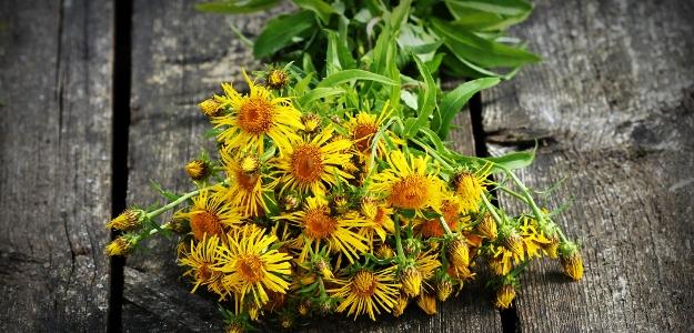 OMAN PRAVÝ: táto bylina pre svoje účinky pretrvala po dlhé stáročia. Ako vám poslúži?