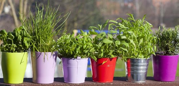Najčastejšie pestované bylinky. Čo potrebujú?